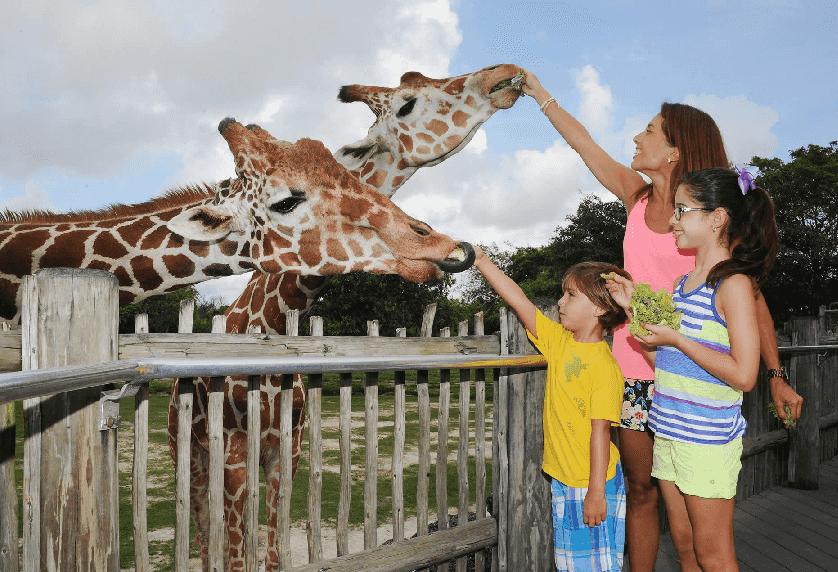 Alimentar e interagir com os animais dentro do Zoo Miami